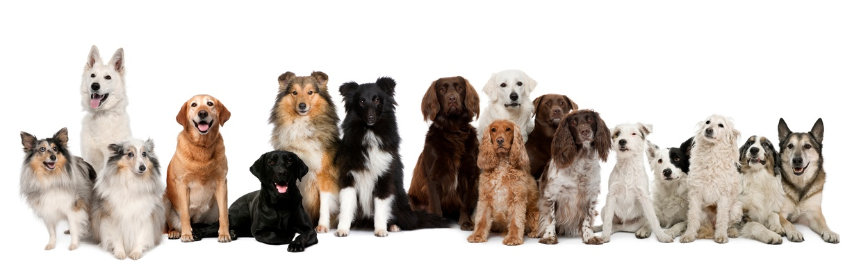 Group-of-dogs-sitting-against-white-background-000024125697_Small.jpg